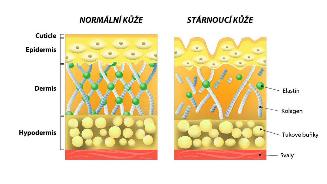 Kolagen a struktura kůže